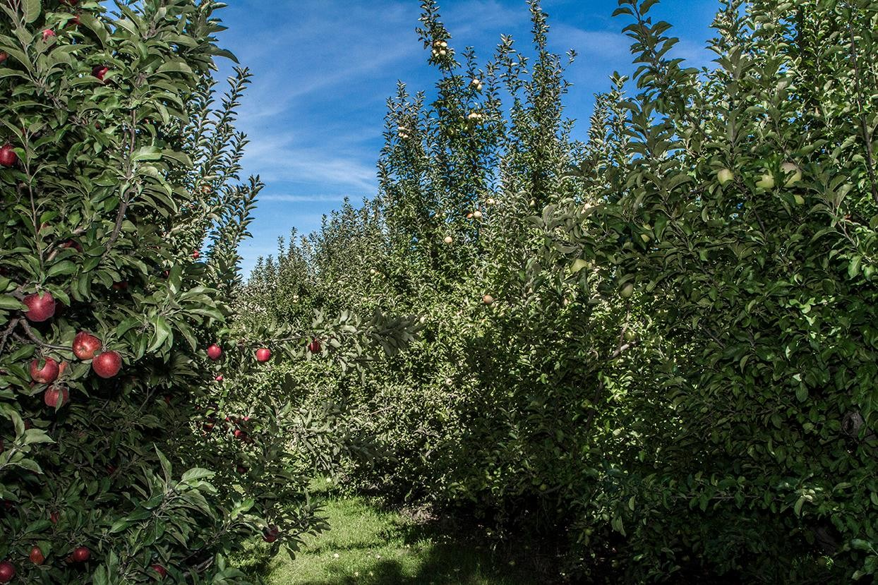 Go apple picking at County Line Orchard